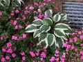 impatients-and-hosta